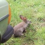 konijntje (jong)