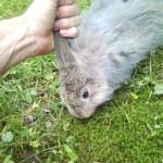 konijn-oren